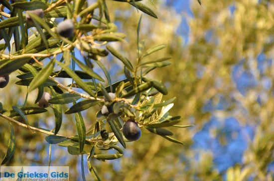 Molyvos olijfboom